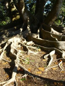 old oak roots along the dirt